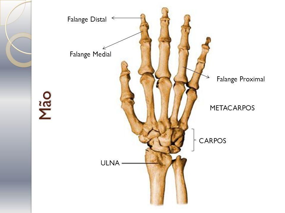 Mão ULNA CARPOS METACARPOS Falange Proximal Falange Medial Falange Distal