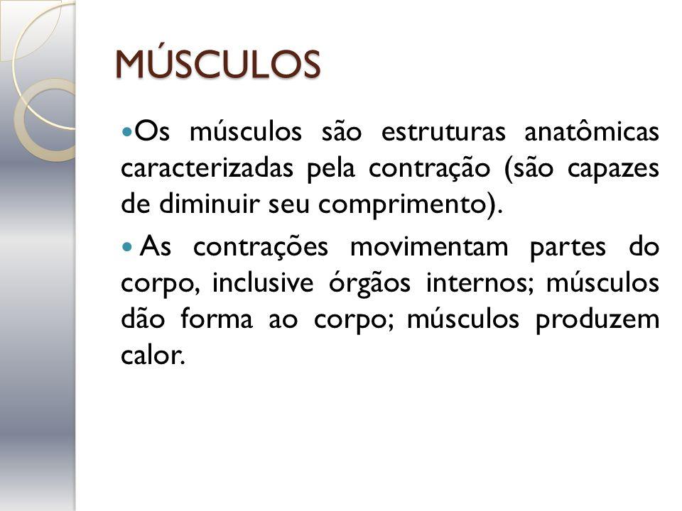 MÚSCULOS Os músculos são estruturas anatômicas caracterizadas pela contração (são capazes de diminuir seu comprimento). As contrações movimentam parte