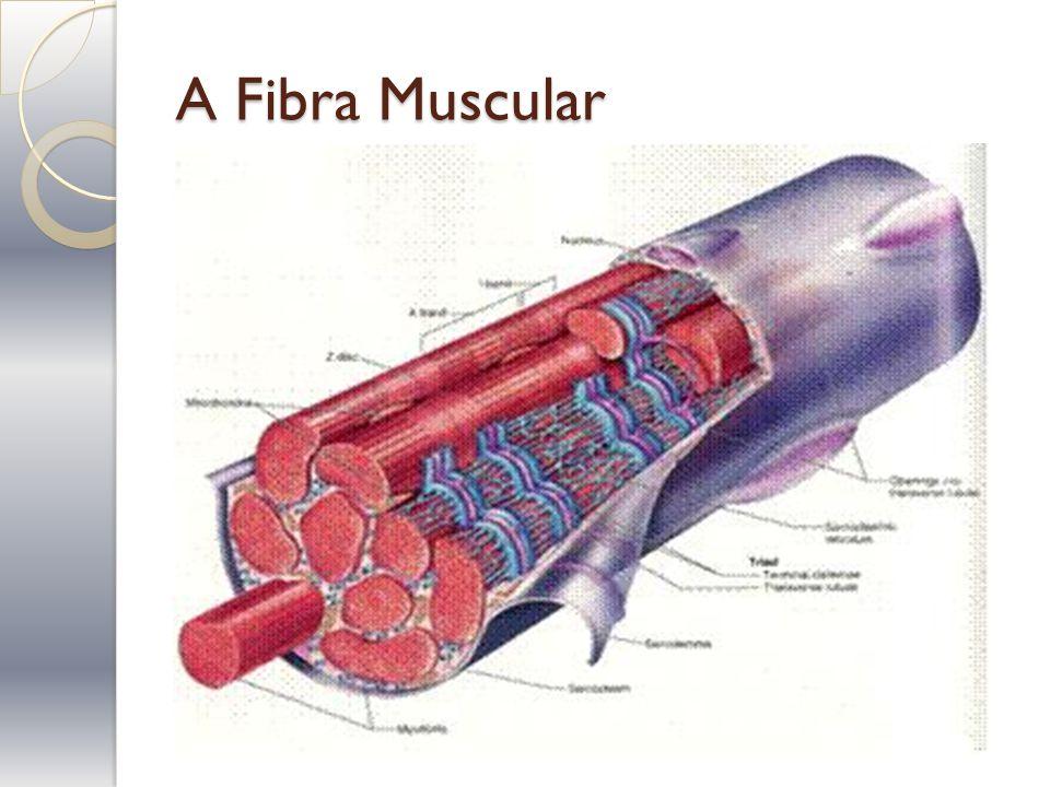 A Fibra Muscular
