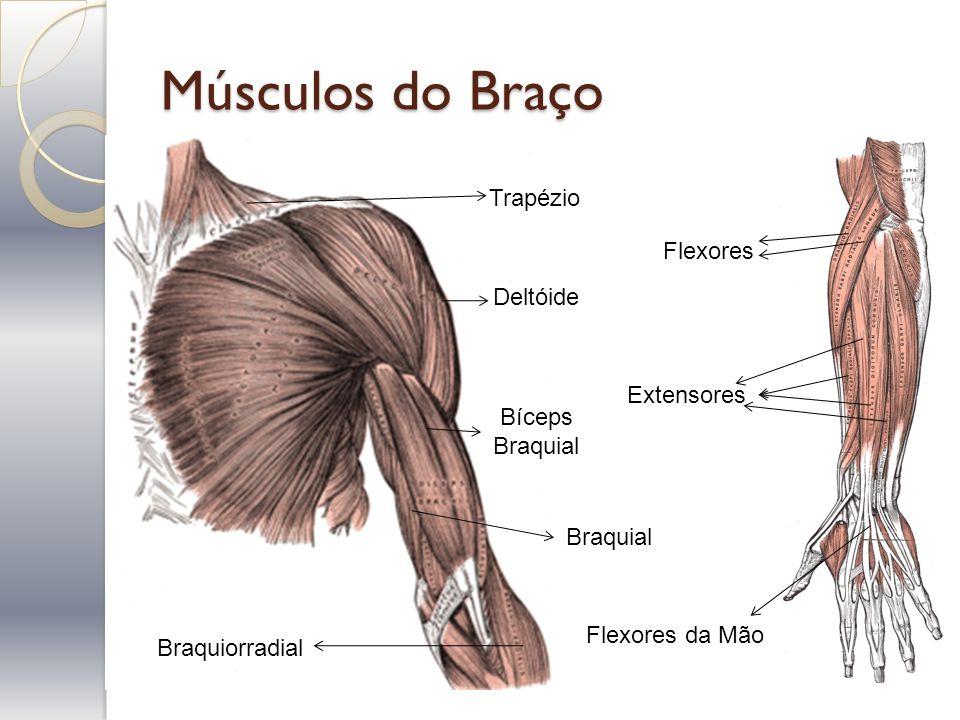 Músculos do Braço Bíceps Braquial Deltóide Braquiorradial Braquial Trapézio Flexores da Mão Extensores Flexores