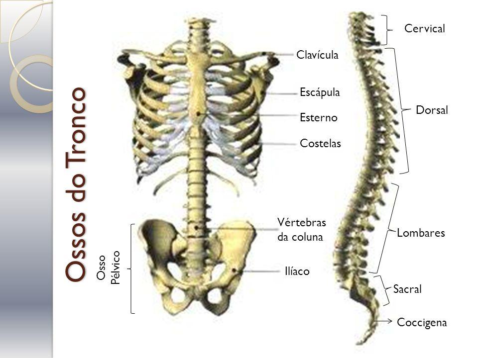Ossos do Tronco Cervical Dorsal Lombares Sacral Coccigena Clavícula Escápula Esterno Costelas Vértebras da coluna Ilíaco Osso Pélvico