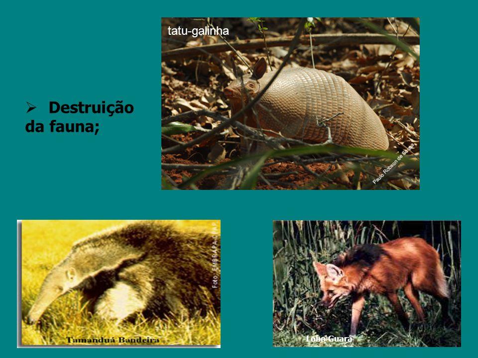 Morte de animais; Lobo Guará tatu-galinha  Destruição da fauna;