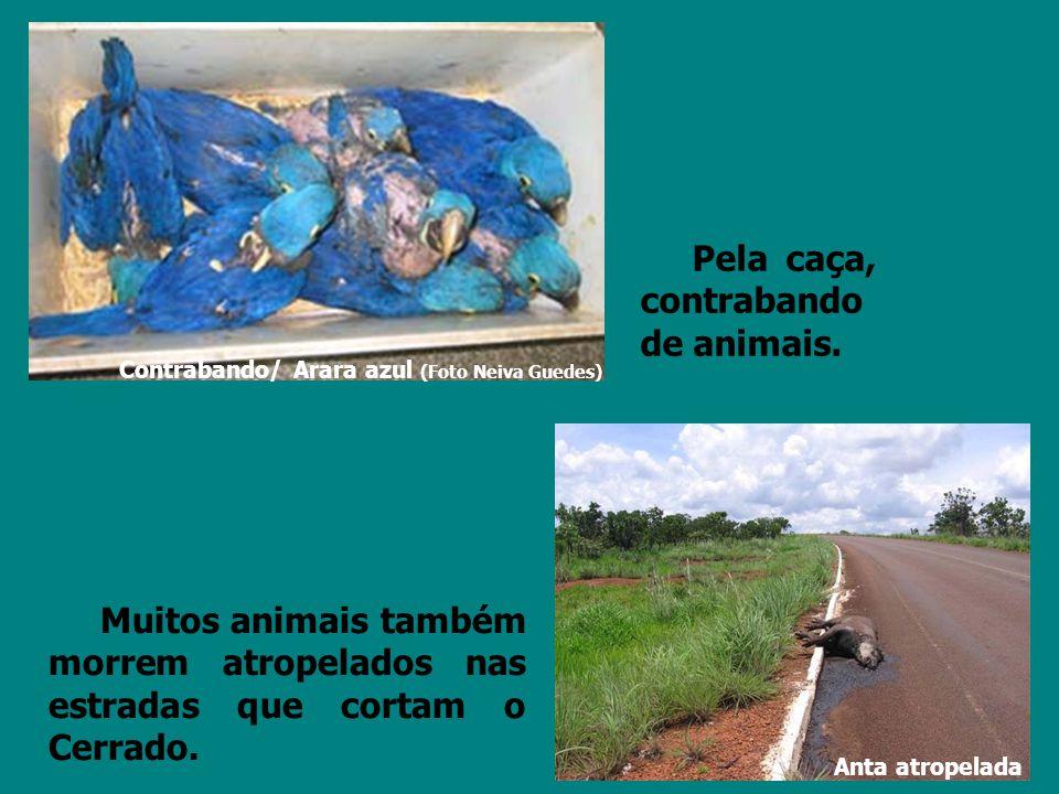 Pela caça, contrabando de animais. Muitos animais também morrem atropelados nas estradas que cortam o Cerrado. Contrabando/ Arara azul (Foto Neiva Gue