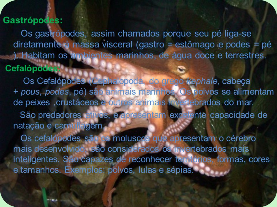 Gastrópodes: Os gastrópodes, assim chamados porque seu pé liga-se diretamente à massa visceral (gastro = estômago e podes = pé ). Habitam os ambientes