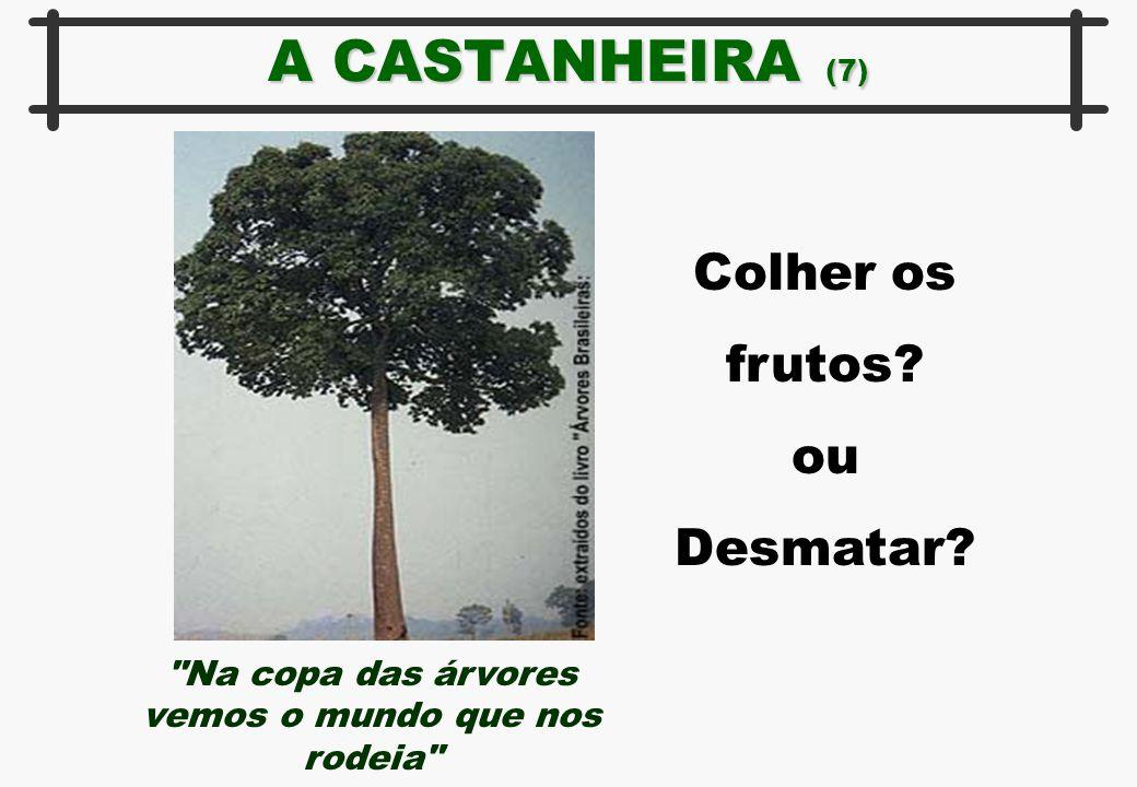 A CASTANHEIRA (7) Colher os frutos? ou Desmatar?