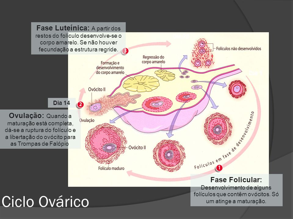 Dia 1 Dia 14 Dia 28 Fase Folicular: Desenvolvimento de alguns folículos que contêm ovócitos. Só um atinge a maturação. Ovulação: Quando a maturação es