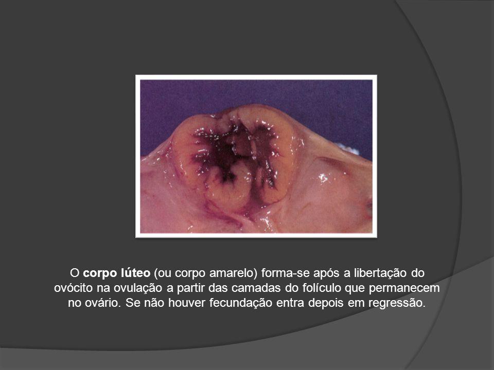 O corpo lúteo (ou corpo amarelo) forma-se após a libertação do ovócito na ovulação a partir das camadas do folículo que permanecem no ovário. Se não h
