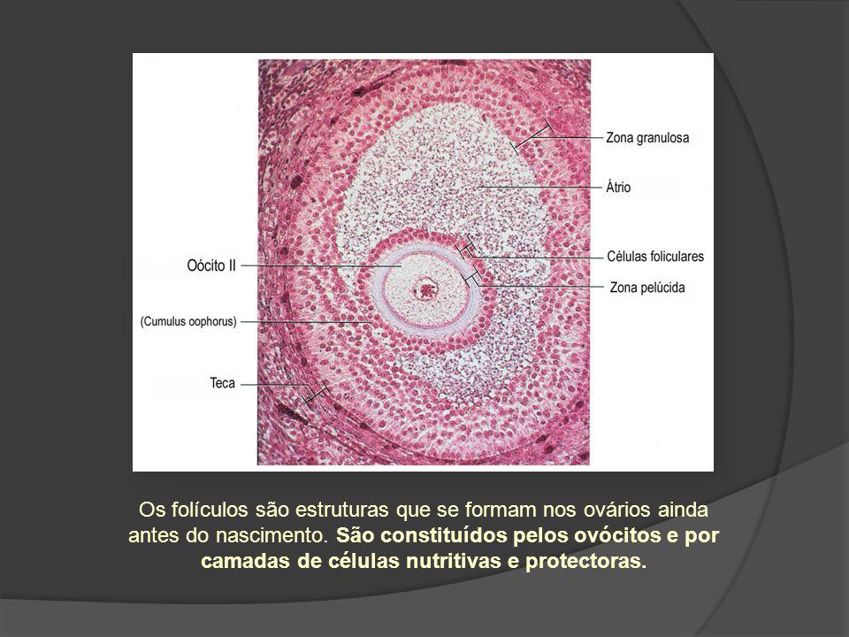 Os folículos são estruturas que se formam nos ovários ainda antes do nascimento. São constituídos pelos ovócitos e por camadas de células nutritivas e