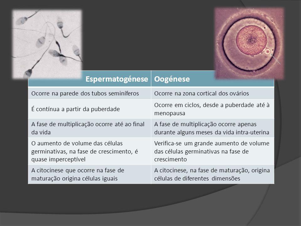 EspermatogéneseOogénese Ocorre na parede dos tubos seminíferosOcorre na zona cortical dos ovários É contínua a partir da puberdade Ocorre em ciclos, d