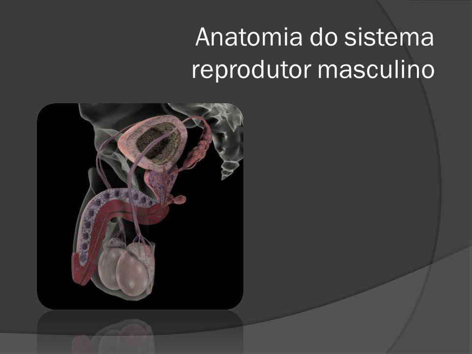 Estrutura do testículo Vão dar origem aos espermatozóides Produzem hormonas, entre elas a testosterona Auxiliam e controlam o processo de maturação das c.
