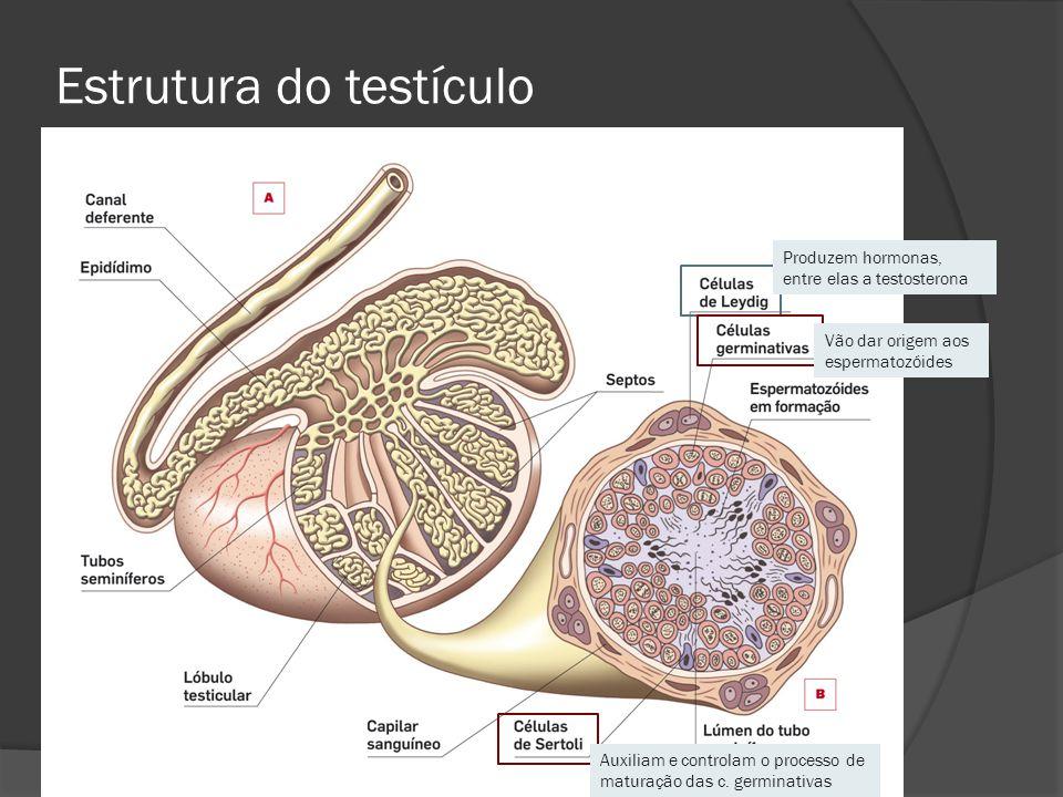 Estrutura do testículo Vão dar origem aos espermatozóides Produzem hormonas, entre elas a testosterona Auxiliam e controlam o processo de maturação da
