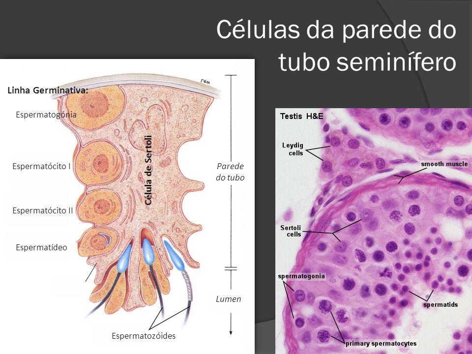 Células da parede do tubo seminífero Lumen Parede do tubo Espermatozóides Célula de Sertoli Espermatogónia Espermatócito I Espermatócito II Espermatíd