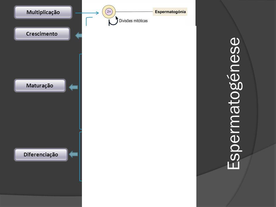 Multiplicação Crescimento Maturação Diferenciação Espermatogénese