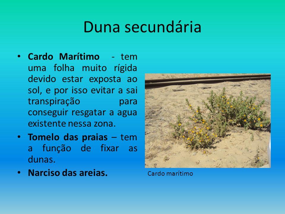 Duna secundária Cardo Marítimo - tem uma folha muito rígida devido estar exposta ao sol, e por isso evitar a sai transpiração para conseguir resgatar