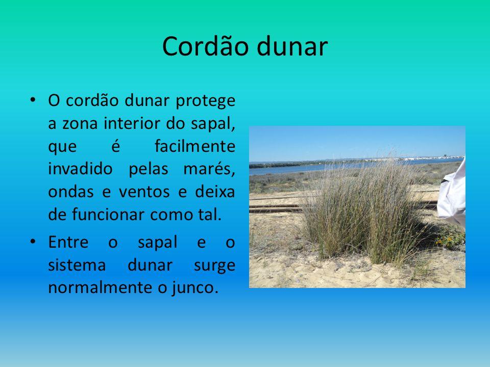 Cordão dunar O cordão dunar protege a zona interior do sapal, que é facilmente invadido pelas marés, ondas e ventos e deixa de funcionar como tal. Ent