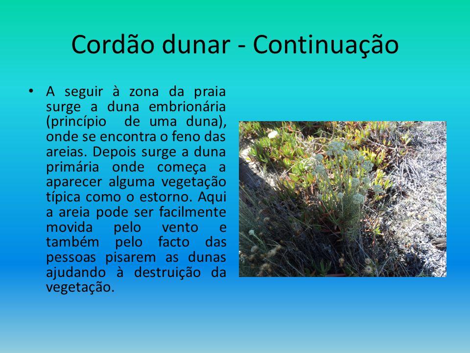 Cordão dunar - Continuação A seguir à zona da praia surge a duna embrionária (princípio de uma duna), onde se encontra o feno das areias. Depois surge