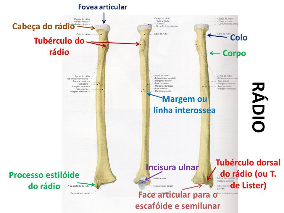 Cabeça do rádio Fovea articular Tubérculo do rádio Processo estilóide do rádio Margem ou linha interossea Colo Tubérculo dorsal do rádio (ou T.