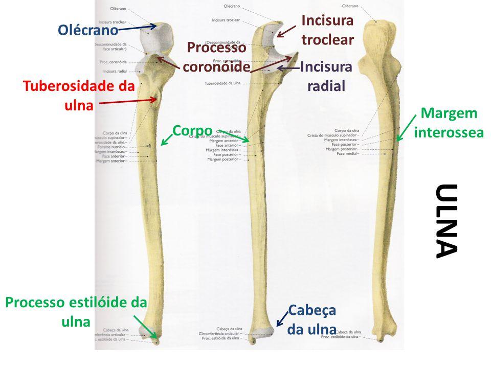 ULNA Olécrano Incisura troclear Processo estilóide da ulna Incisura radial Margem interossea Cabeça da ulna Processo coronóide Tuberosidade da ulna Corpo