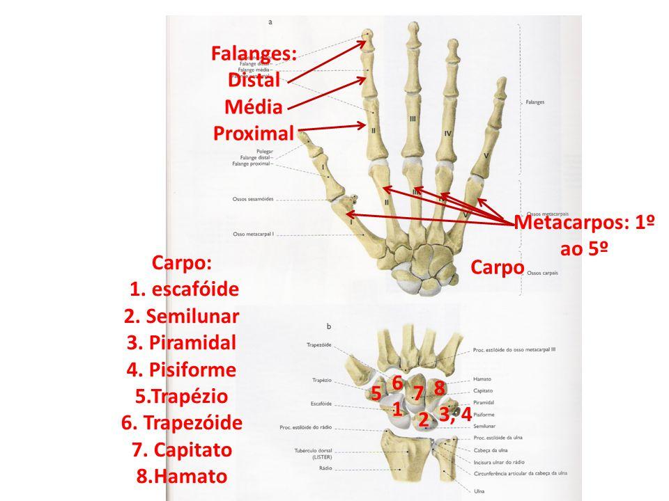 Metacarpos: 1º ao 5º Falanges: Distal Média Proximal Carpo Carpo: 1.