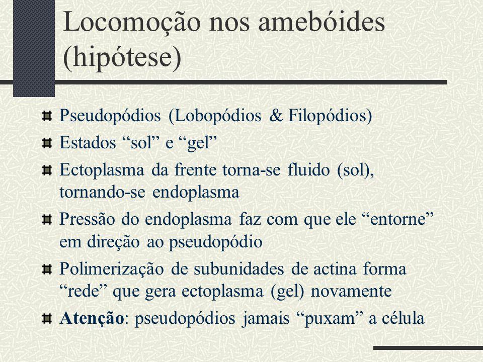 """Locomoção nos amebóides (hipótese) Pseudopódios (Lobopódios & Filopódios) Estados """"sol"""" e """"gel"""" Ectoplasma da frente torna-se fluido (sol), tornando-s"""