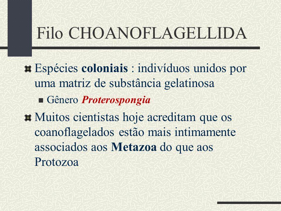 Filo CHOANOFLAGELLIDA Espécies coloniais : indivíduos unidos por uma matriz de substância gelatinosa  Gênero Proterospongia Muitos cientistas hoje ac