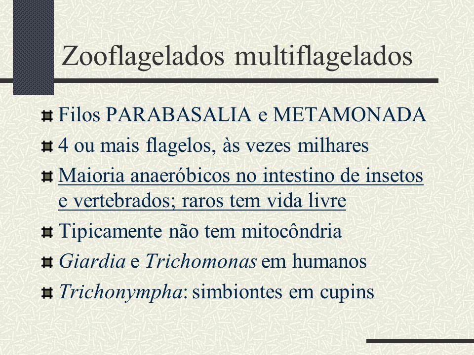Zooflagelados multiflagelados Filos PARABASALIA e METAMONADA 4 ou mais flagelos, às vezes milhares Maioria anaeróbicos no intestino de insetos e verte