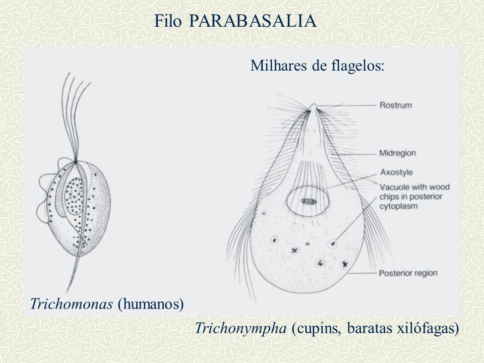 Trichomonas (humanos) Trichonympha (cupins, baratas xilófagas) Milhares de flagelos: Filo PARABASALIA