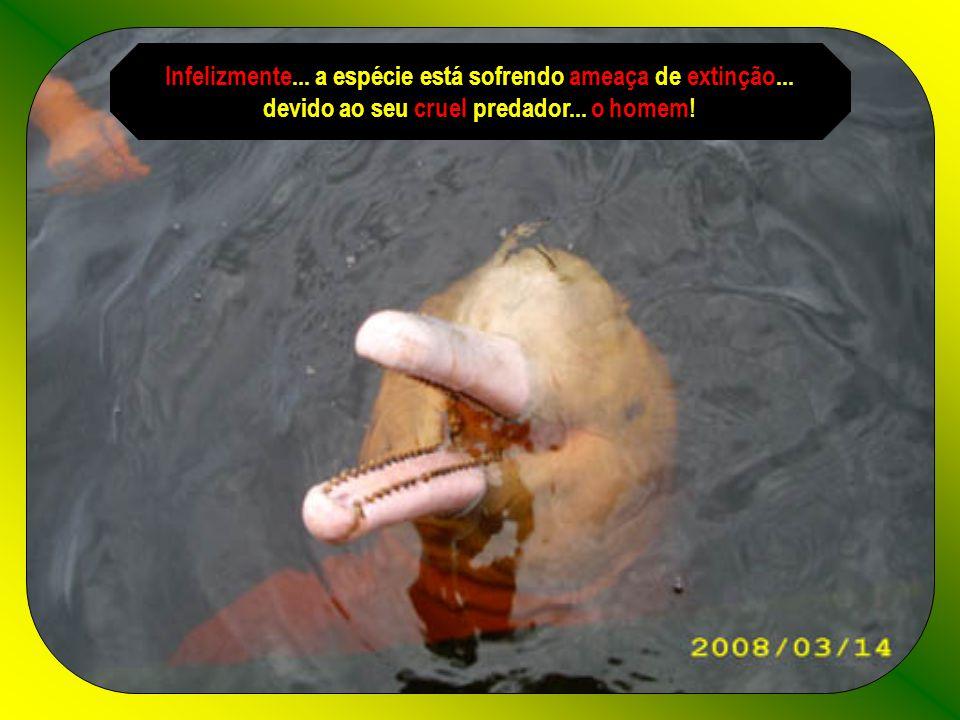 Os órgãos genitais dos botos...que são caçados e mortos...