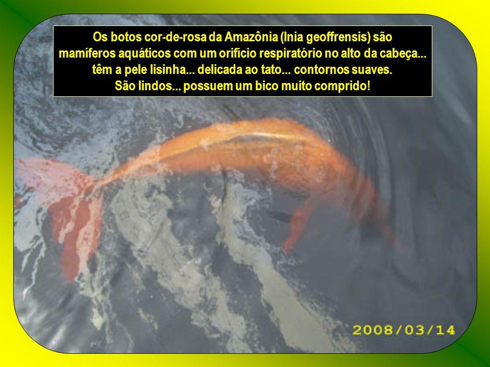 Os botos cor-de-rosa da Amazônia (Inia geoffrensis) são mamíferos aquáticos com um orifício respiratório no alto da cabeça...