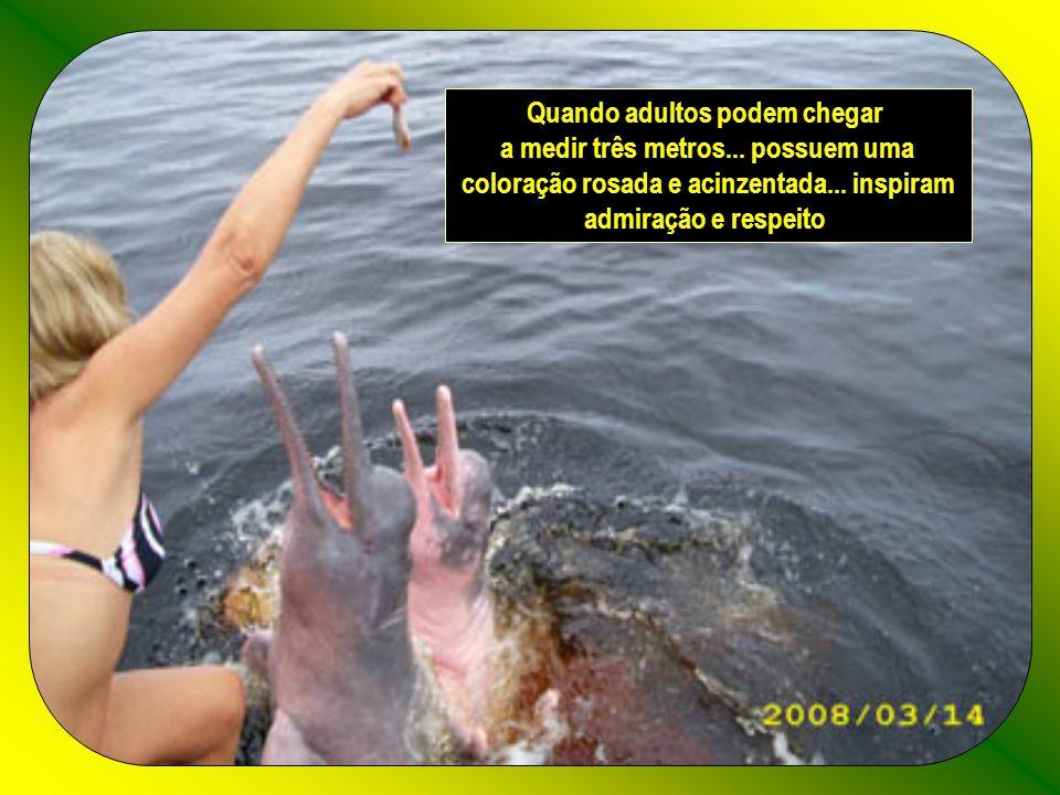 Os botos cor-de-rosa da Amazônia (Inia geoffrensis) são mamíferos aquáticos com um orifício respiratório no alto da cabeça... têm a pele lisinha... de