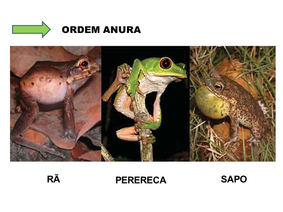 ORDEM ANURA RÃ PERERECA SAPO