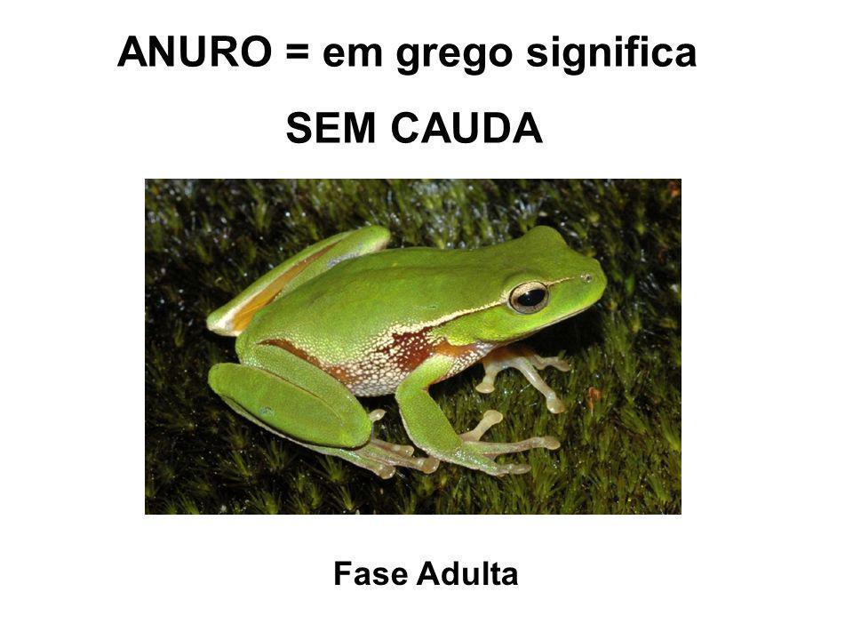 ANURO = em grego significa SEM CAUDA Fase Adulta
