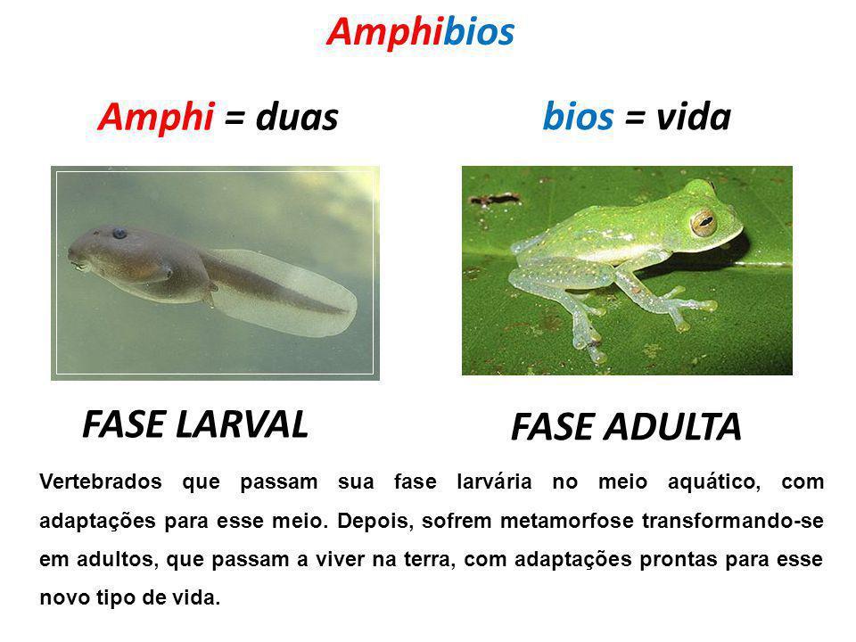 Amphibios Amphi = duas bios = vida FASE LARVAL FASE ADULTA Vertebrados que passam sua fase larvária no meio aquático, com adaptações para esse meio. D