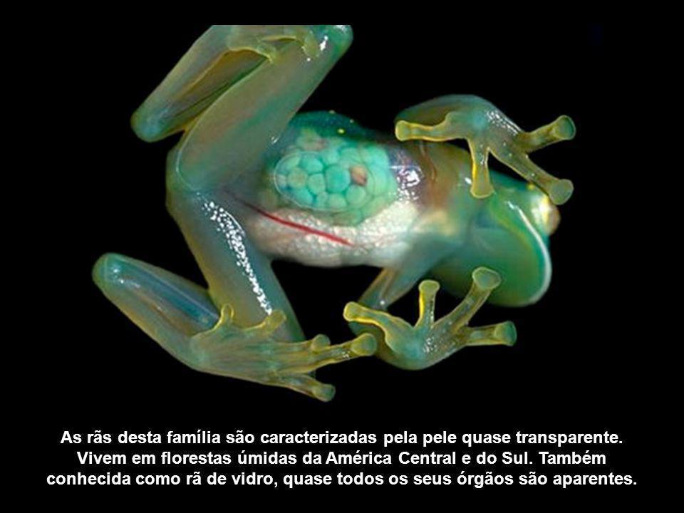 As rãs desta família são caracterizadas pela pele quase transparente. Vivem em florestas úmidas da América Central e do Sul. Também conhecida como rã