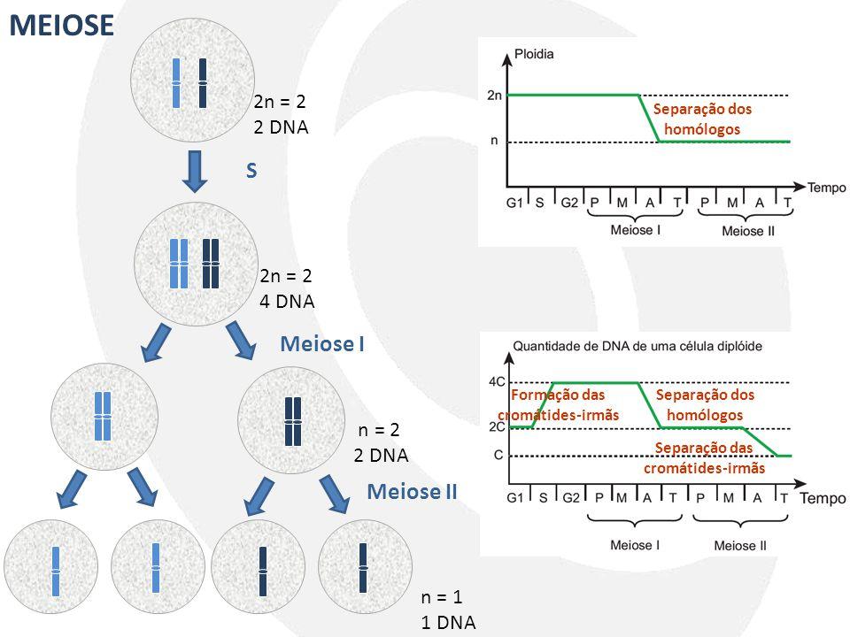MEIOSE 2n = 2 2 DNA 2n = 2 4 DNA S Meiose I n = 2 2 DNA Meiose II n = 1 1 DNA Separação dos homólogos Formação das cromátides-irmãs Separação dos homó