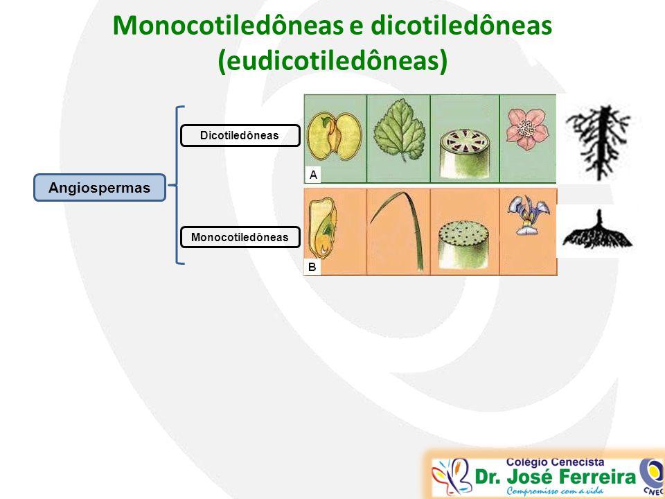 Monocotiledôneas e dicotiledôneas (eudicotiledôneas) Angiospermas Dicotiledôneas Monocotiledôneas