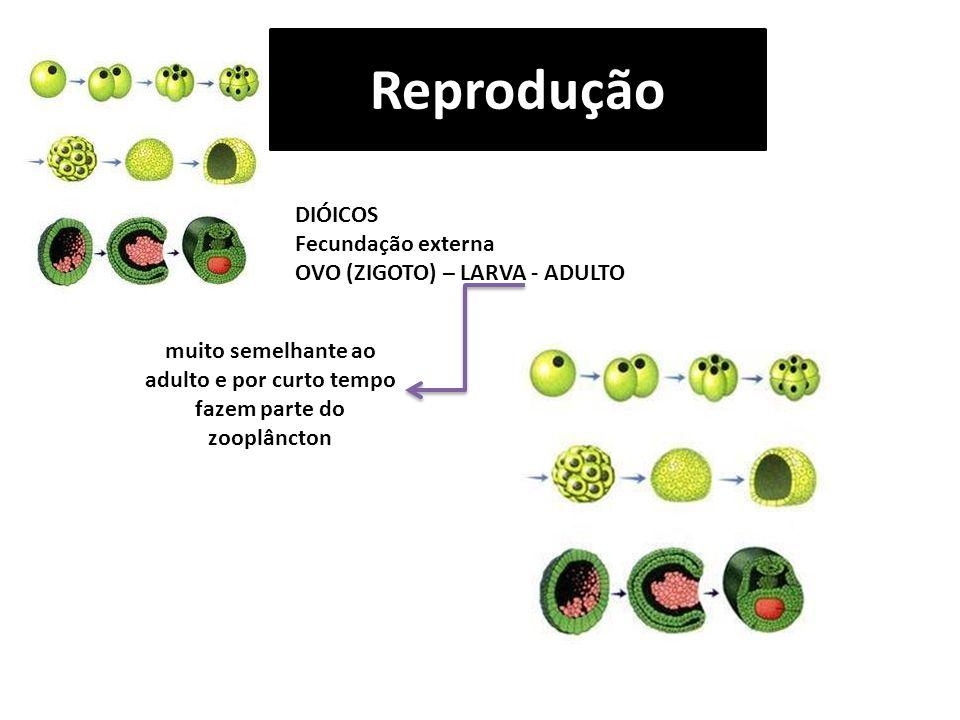 Reprodução DIÓICOS Fecundação externa OVO (ZIGOTO) – LARVA - ADULTO muito semelhante ao adulto e por curto tempo fazem parte do zooplâncton