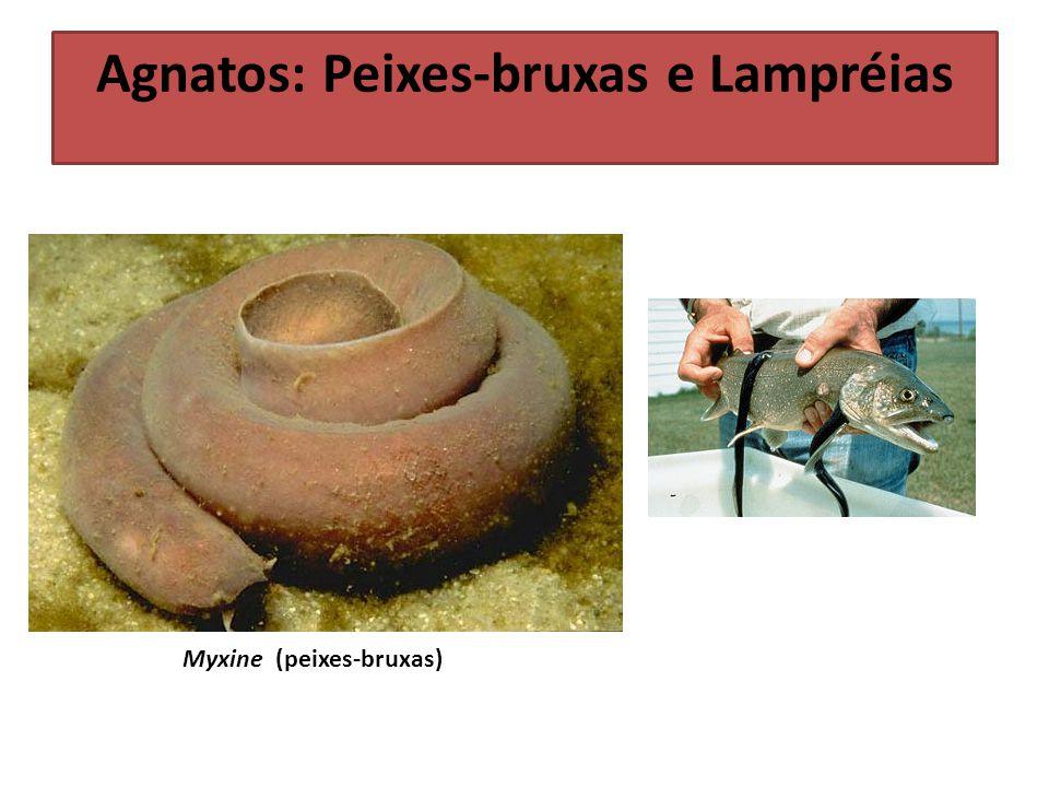 Myxine (peixes-bruxas) Agnatos: Peixes-bruxas e Lampréias