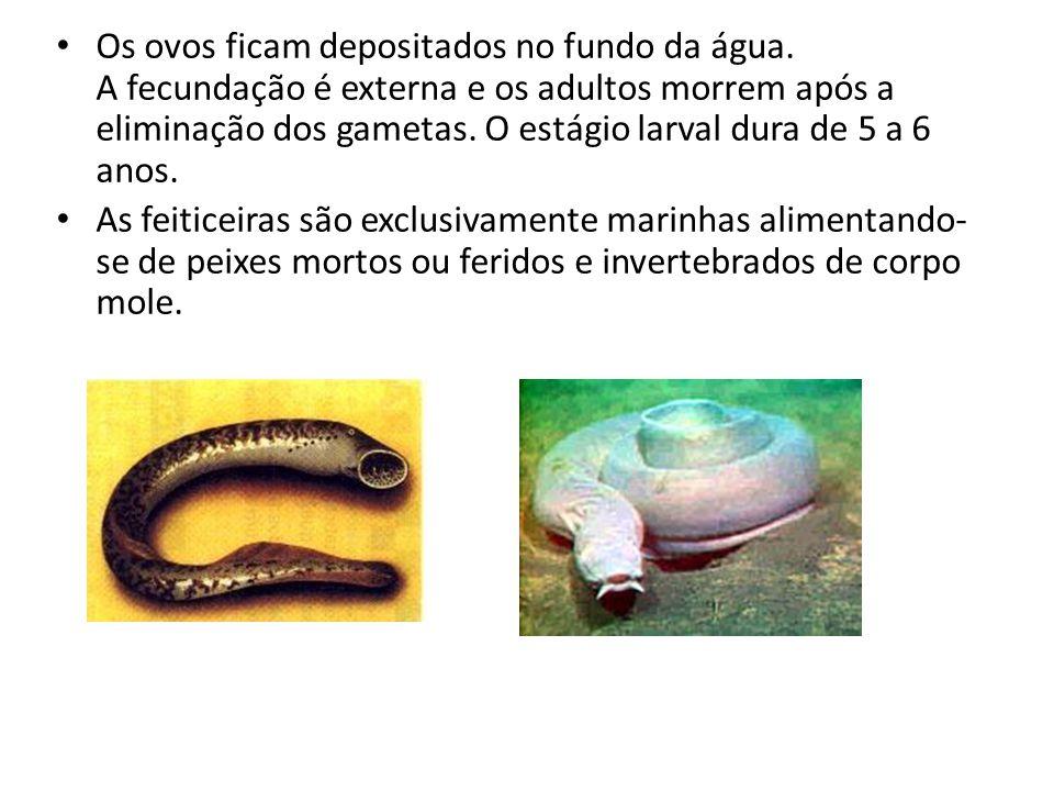 • Os ovos ficam depositados no fundo da água. A fecundação é externa e os adultos morrem após a eliminação dos gametas. O estágio larval dura de 5 a 6
