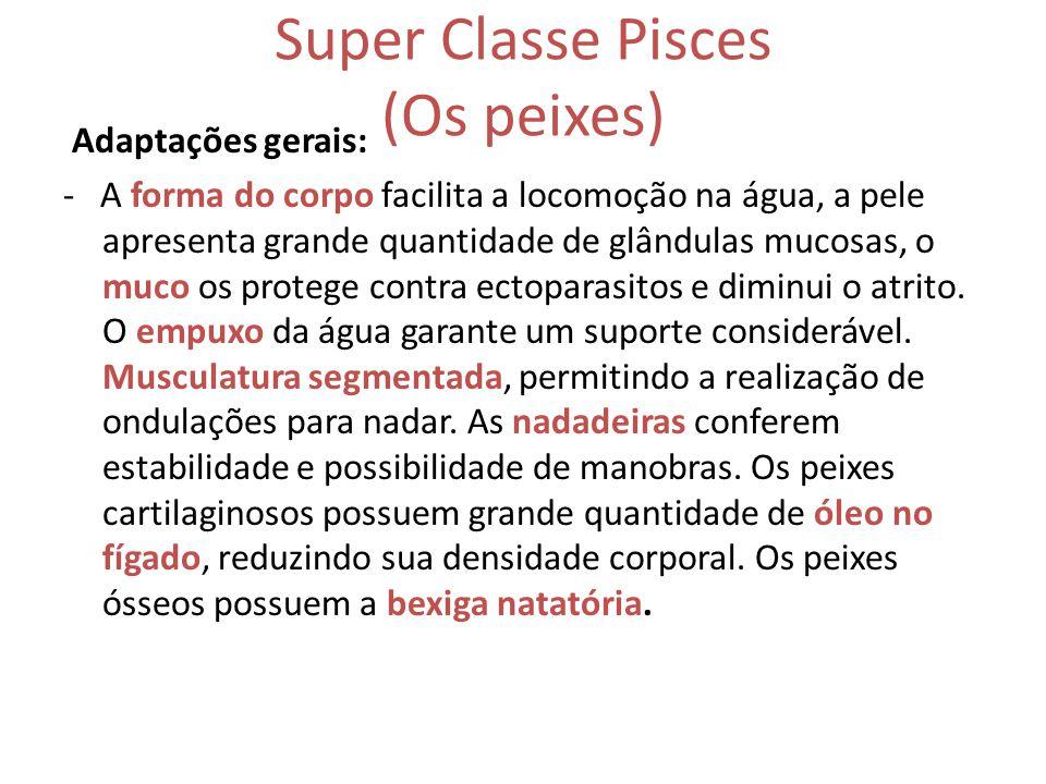 Super Classe Pisces (Os peixes) Adaptações gerais: - A forma do corpo facilita a locomoção na água, a pele apresenta grande quantidade de glândulas mu