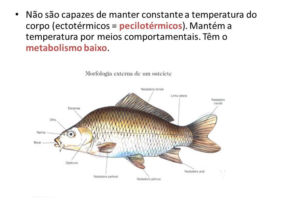 • Não são capazes de manter constante a temperatura do corpo (ectotérmicos = pecilotérmicos). Mantém a temperatura por meios comportamentais. Têm o me