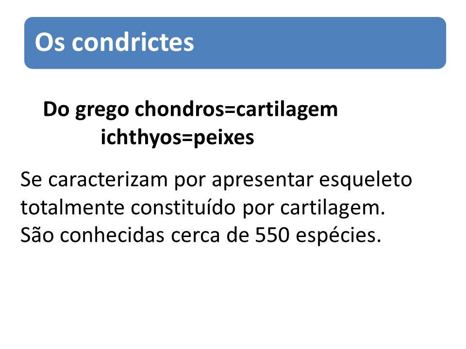 Os condrictes Do grego chondros=cartilagem ichthyos=peixes Se caracterizam por apresentar esqueleto totalmente constituído por cartilagem. São conheci