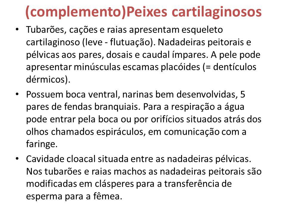(complemento)Peixes cartilaginosos • Tubarões, cações e raias apresentam esqueleto cartilaginoso (leve - flutuação). Nadadeiras peitorais e pélvicas a