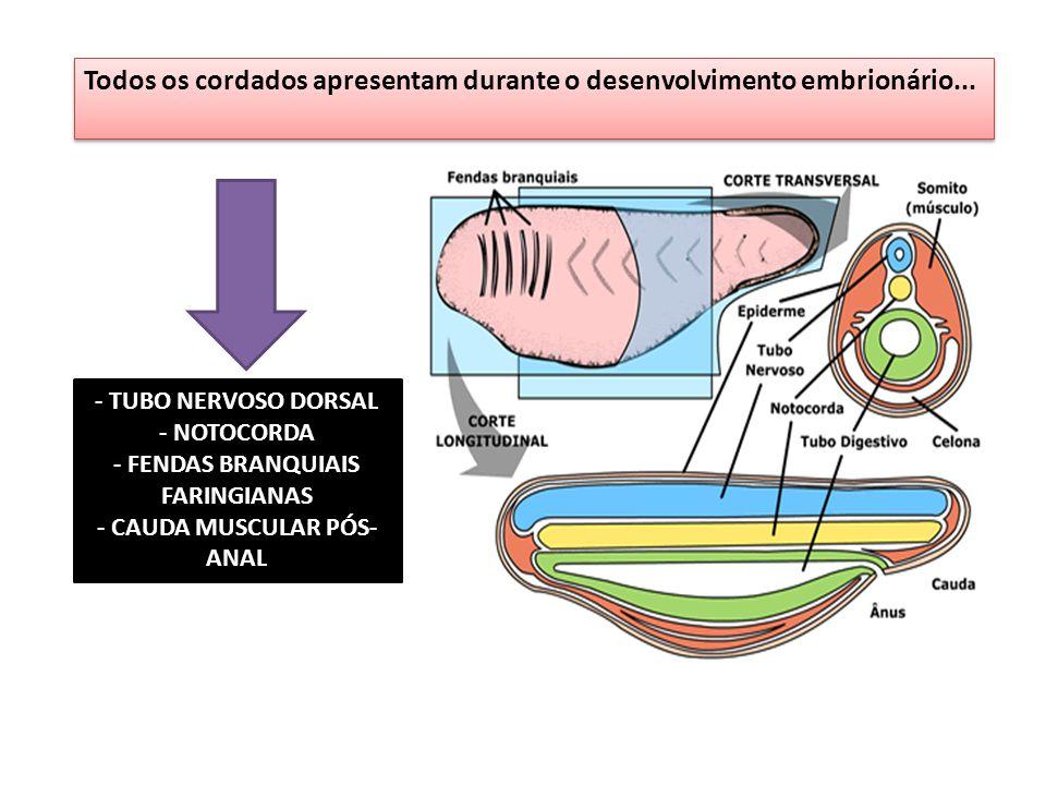 Todos os cordados apresentam durante o desenvolvimento embrionário... - TUBO NERVOSO DORSAL - NOTOCORDA - FENDAS BRANQUIAIS FARINGIANAS - CAUDA MUSCUL