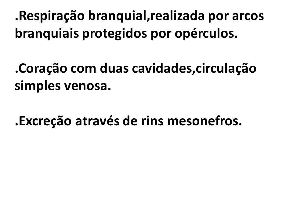 .Respiração branquial,realizada por arcos branquiais protegidos por opérculos..Coração com duas cavidades,circulação simples venosa..Excreção através