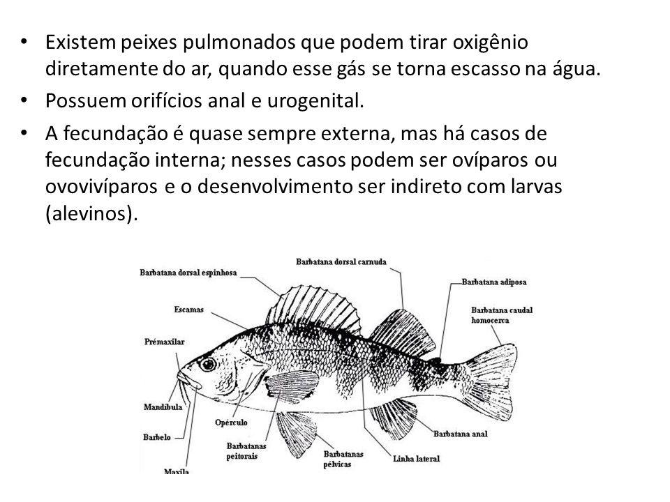 • Existem peixes pulmonados que podem tirar oxigênio diretamente do ar, quando esse gás se torna escasso na água. • Possuem orifícios anal e urogenita