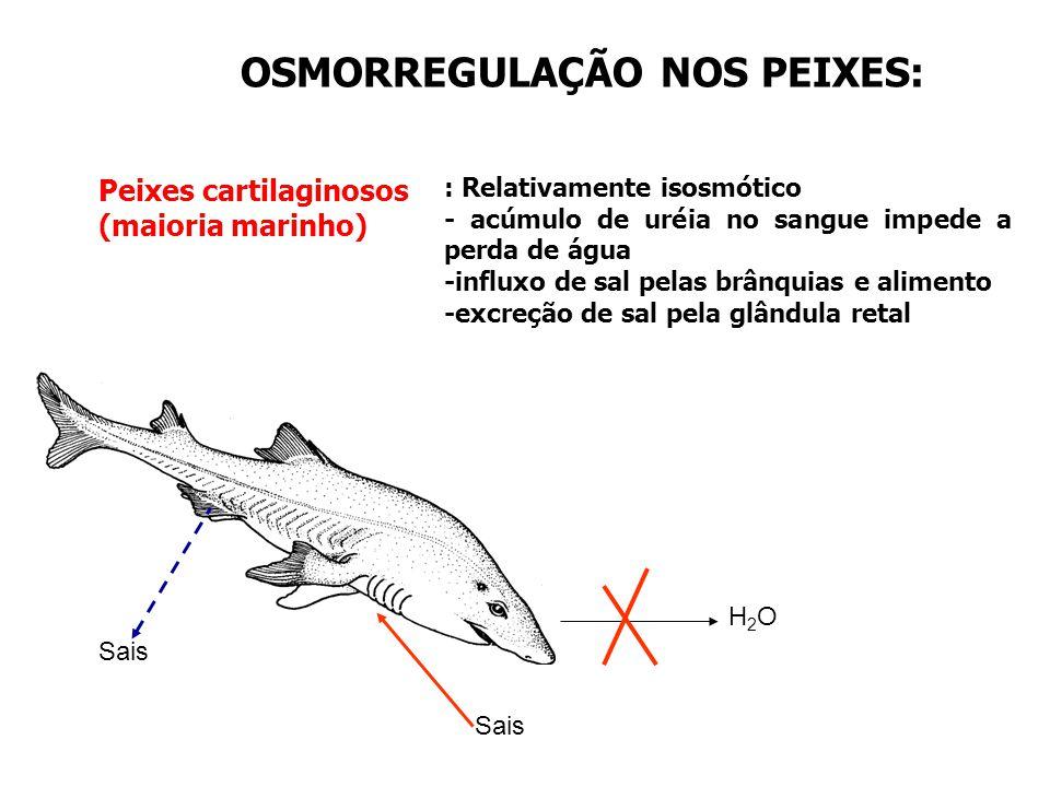 OSMORREGULAÇÃO NOS PEIXES: Peixes cartilaginosos (maioria marinho) H2OH2O Sais : Relativamente isosmótico - acúmulo de uréia no sangue impede a perda