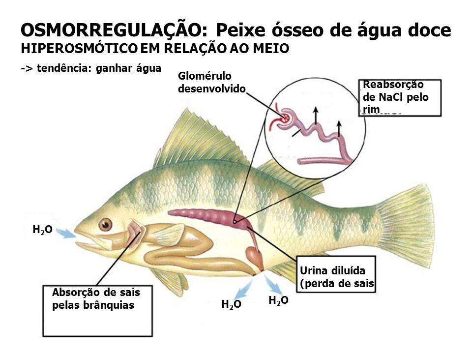 OSMORREGULAÇÃO: Peixe ósseo de água doce HIPEROSMÓTICO EM RELAÇÃO AO MEIO Absorção de sais pelas brânquias Reabsorção de NaCl pelo rim Glomérulo desen