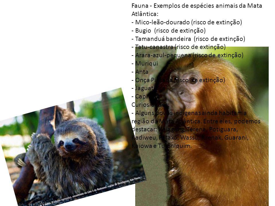 Fauna - Exemplos de espécies animais da Mata Atlântica: - Mico-leão-dourado (risco de extinção) - Bugio (risco de extinção) - Tamanduá bandeira (risco