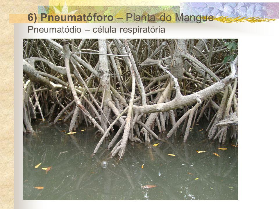 6) Pneumatóforo – Planta do Mangue Pneumatódio – célula respiratória